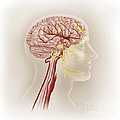 Detail Of Ateries Of The Human Head by TriFocal Communications