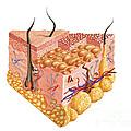 Detailed Cutaway Diagram Of Human Skin by Leonello Calvetti