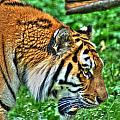 Determination In The Tigers Stare by Michael Frank Jr