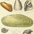 Devonian Fossils, Illustration by British Library