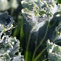 Dew Drops On Silvery Frill by Renee Croushore