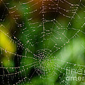 Dew Drops On Spider Web 3 by Tracy Knauer