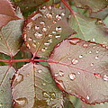 Dew Drops On The Rose Leaves by Zina Stromberg