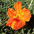 Dew Kissed Flower by Pamela Walton