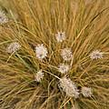 Dew On Ornamental Grass No. 3 by Belinda Greb