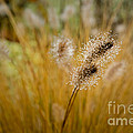 Dew On Ornamental Grass No. 4 by Belinda Greb