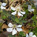 Dewberry Flower by Charles Beeler