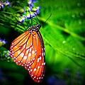 Dewdrop Butterfly by Mark Andrew Thomas