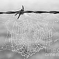 Dewdrops by Carole Lloyd