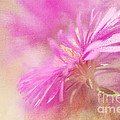 Dewy Pink Asters by Lois Bryan