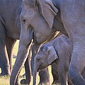 Dhikala Elephants by David Beebe