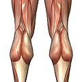 Diagram Illustrating Muscle Groups by Stocktrek Images
