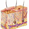 Diagram Showing Anatomy Of Human Skin by Leonello Calvetti