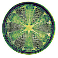 Diatom, Heliopelta Metil, Early by Science Source