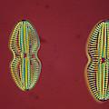 Diatom - Navicula by Perennou Nuridsany