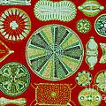 Diatoms-ernst Haeckel by Scott Camazine