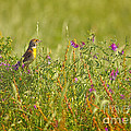 Dickcissel And Flowers by David Cutts
