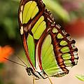 Dido Longwing Butterfly by Eva Kaufman