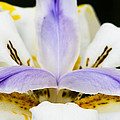 Dietes Grandiflora Close-up by David Waldo