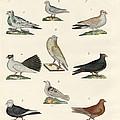 Different Kinds Of Pigeons by Splendid Art Prints
