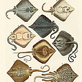 Different Kinds Of Rays by Splendid Art Prints