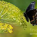 Dill And The Butterfly by Jan Killian