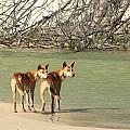 Dingo Duo by Elizabeth Hardie