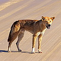 Dingo Fraser Island by Jock Brown
