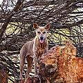 Dingo In The Wild V5 by Douglas Barnard