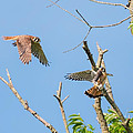 Dinner Time For The Kestrels by Bill Wakeley