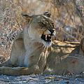 Disgruntled Lioness by Bruce J Robinson