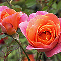 Disneyland Roses by Rona Black