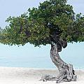 Divi Divi Tree In Aruba by DejaVu Designs