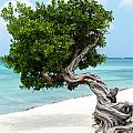 Divi Divi Tree In Aruba by DejaVu Designs