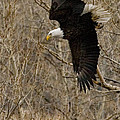 Diving Eagle by J L Woody Wooden
