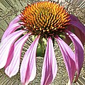 Divinity Gold - Echinacea by Richard Thomas
