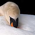 Do Not Disturb - Swan On Nest by Gill Billington