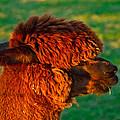 Do You Like My New Haircut Alpaca by Eti Reid