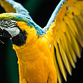 Do Your Exercise Daily Blue And Yellow Macaw by Eti Reid