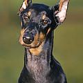 Doberman Pinscher Dog by Johan De Meester