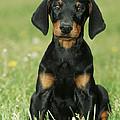Doberman Pinscher Puppy by Johan De Meester