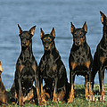 Doberman Pinschers by Jean-Michel Labat
