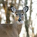 Doe A Deer A Female Deer by Lara Ellis