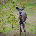 Doe A Deer by Bill Cannon
