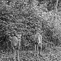 Doe A Deer Bw by Steve Harrington
