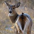 Doe A Deer by Heather Pickard