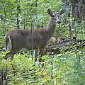 Doe A Deer by Laurie Perry