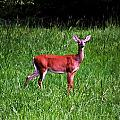 Doe A Deer by Tara Potts