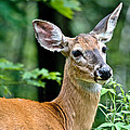 Doe Close by Cheryl Baxter