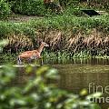 Doe Crossing The River by M Dale